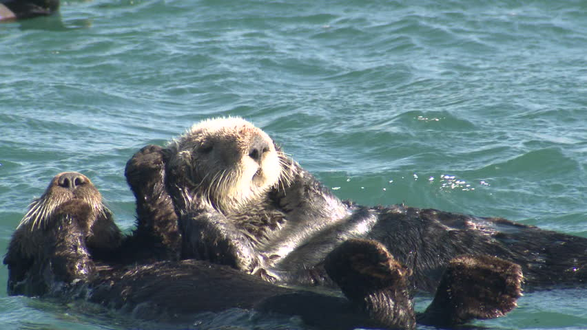 Sea Otter Female Adult Young Pair Otters Swimming in California
