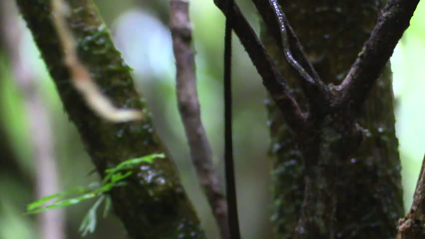 Anole Adult Lone Resting T in Costa Rica