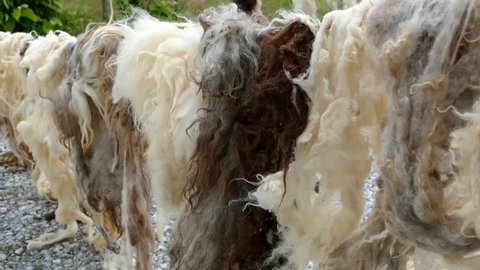 the washed sheep wool is drying up on the sun,