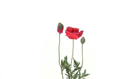Poppy. Red poppies blooming in time-lapse. Poppies blossom on white background. Two red poppies blossom and move beautifully. High speed camera shot. Full HD 1080p.