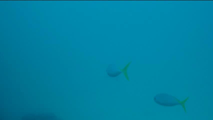 Yellowtail Fusilier Fish Swim in Ocean