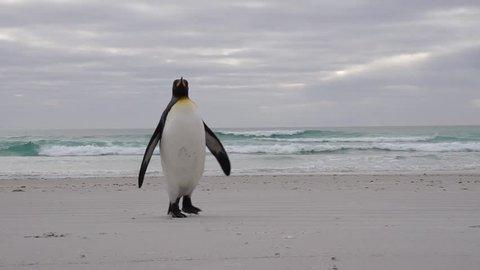 King penguin on beach