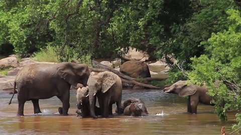 Elephants play and socialize by the Sabie river, with babies rolling in the water, Kruger National Park, South Africa