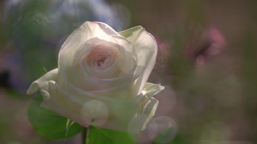 Beautiful ice-cream rose through flecks of sunlight in slow motion. Romantic flower in the garden in sunny day after the rain. Panoramic closeup shot.