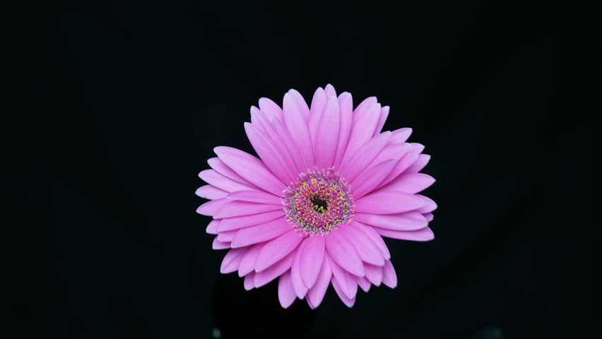 Header of African daisy