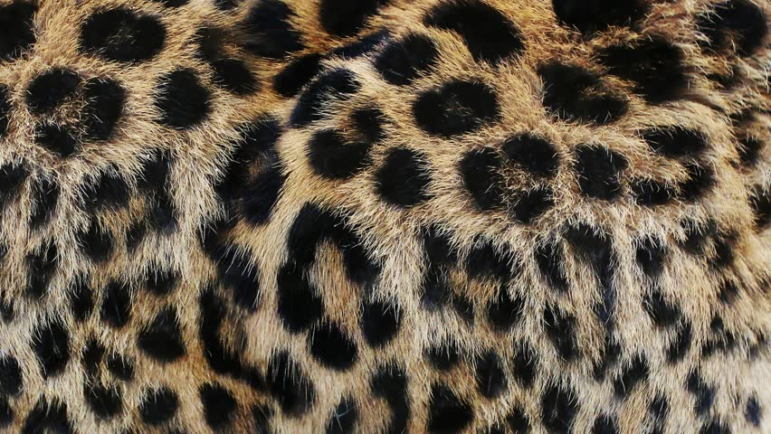 Close up, slow motion of moving leopard hair. African wild cat fur. Beautiful exotic animal background, abstract natural animation. | Shutterstock HD Video #1011866525