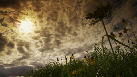 A Dramatic Sun Drenched Sky above a rich Tall Grass Prairie of Prairie Coneflowers