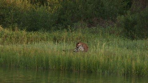 Jaguar (Panthera onca) lying on riverbank chasing away anoying flies in the Pantanal wetlands, Brazil.