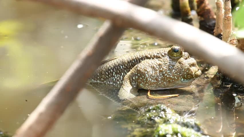 Mudskipper  fish in swamp forest Thailand