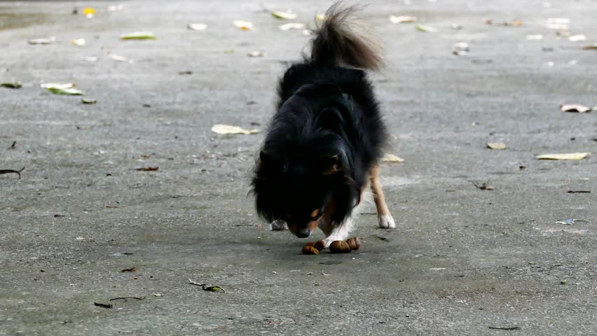 Tricolor long hair male chihuahua dog eating his feces