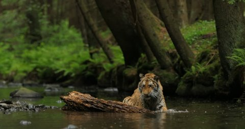 Amur tiger in the river water. Dangerous animal, taiga, Russia. Big animal in green forest. Siberian wild cat in nature habitat. Tiger playing with tree trunk.