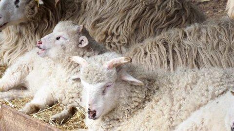 Sheep herd chew hay lying on dry grass in sheepfold, young ram sleeping in ranch. Wallachian sheep.