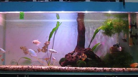 A tropical aquarium with plants and fish Black Tetra (Gymnocorymbus ternetzi), Barbus Tetrazona, Colisa Lalia (dwarf gourami), Tropical Gourami