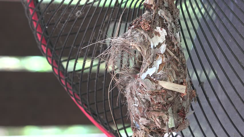 Olive-backed sunbird feeds the chicks. Nest on the balcony.  | Shutterstock HD Video #1012118825