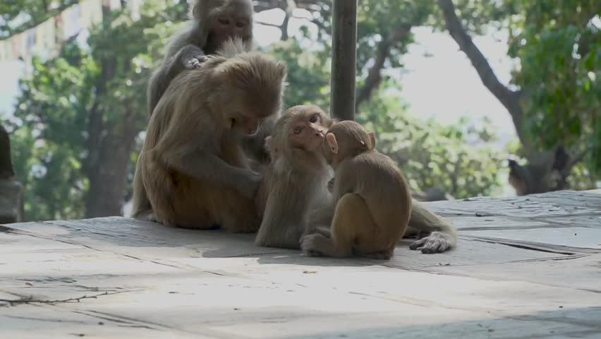 A family of monkeys in the city of Kathmandu. In the middle of the city of Kathmandu there are many monkeys. Especially a lot of monkeys live near the Buddhist temple of Swayambhunath.