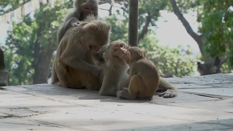 A family of monkeys in the city of Kathmandu. In the middle of the city of Kathmandu there are many monkeys. Especially a lot of monkeys live near the Buddhist temple of Swayambhunath.