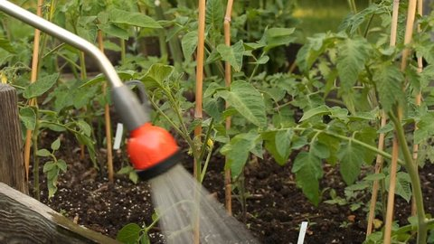 Watering tomatoe plants with water spray lance in small farm garden