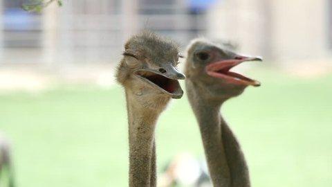 Close up shot of ostrich at the ostrich farm