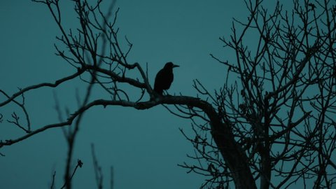Raven resting and flying from a dead tree at night