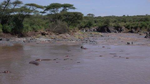 Hippos, many Hippopotamus in the Hippo Pool, Landscape, Serengeti