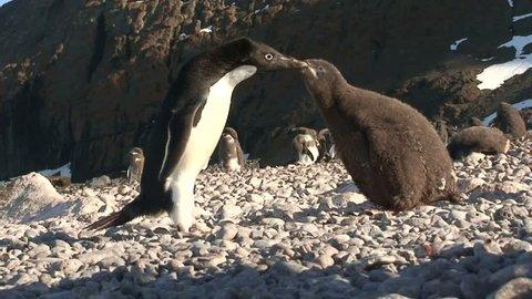 South Georgia, Antarctica January 15, 2015 Adelie Penguins on the beach