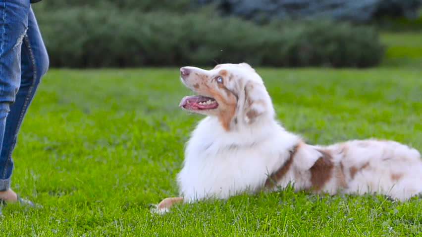 Australian shepherd dog is crossing paws on command #1012357235