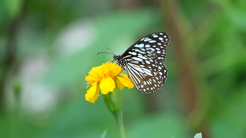 Butterfly on flower, Butterfly feeding on flower #1012375025