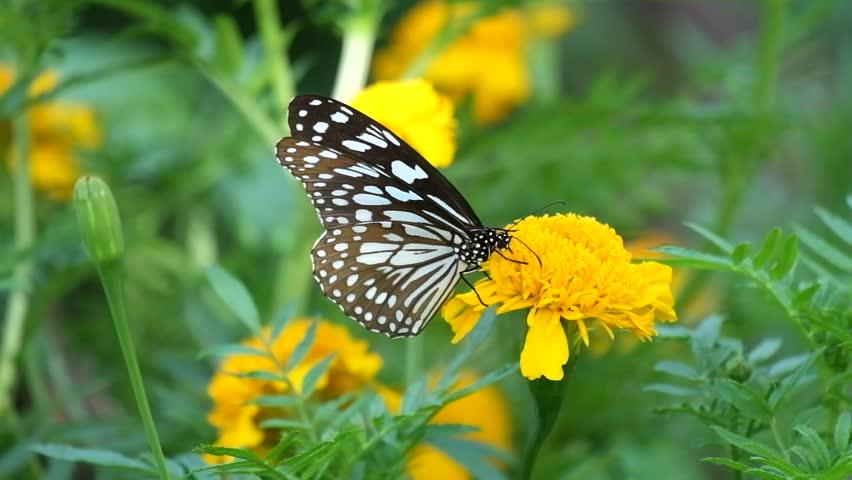 Butterfly on flower, Butterfly feeding on flower #1012375055