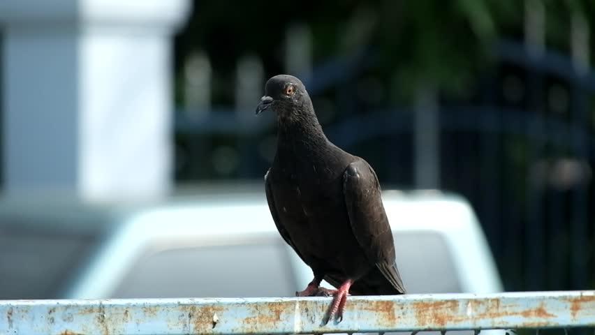 Résultats de recherche d'images pour «rock pigeon royalty free»