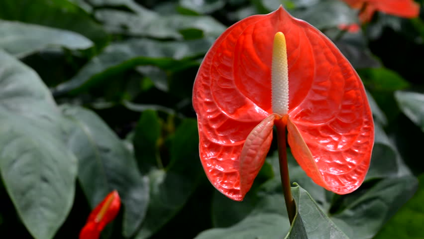 "Anthurium can also be called ""flamingo flower"" or ""boy flower"", both referring to the structure of the spathe and spadix"