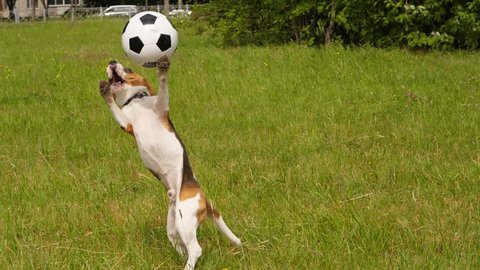 Doggy jump up to catch thrown soccer ball and hit it by chest, then turn and run to pursue it, slow motion shot. Funny Beagle playing at grassy lawn in summer day