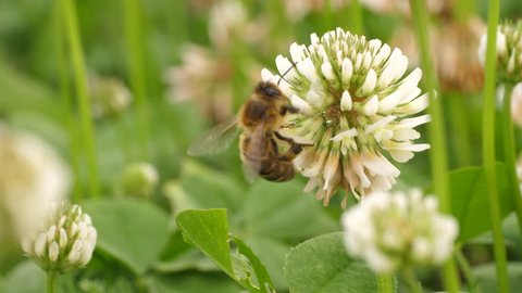 Honey bee is collecting nectar from a clover flower. It crawls to backside of flower.
