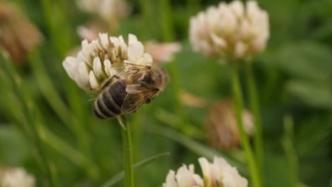 Macro shot of honey bee crawling on head of clover flower, collecting nectar. Clover flowers are in the background, with soft focus.