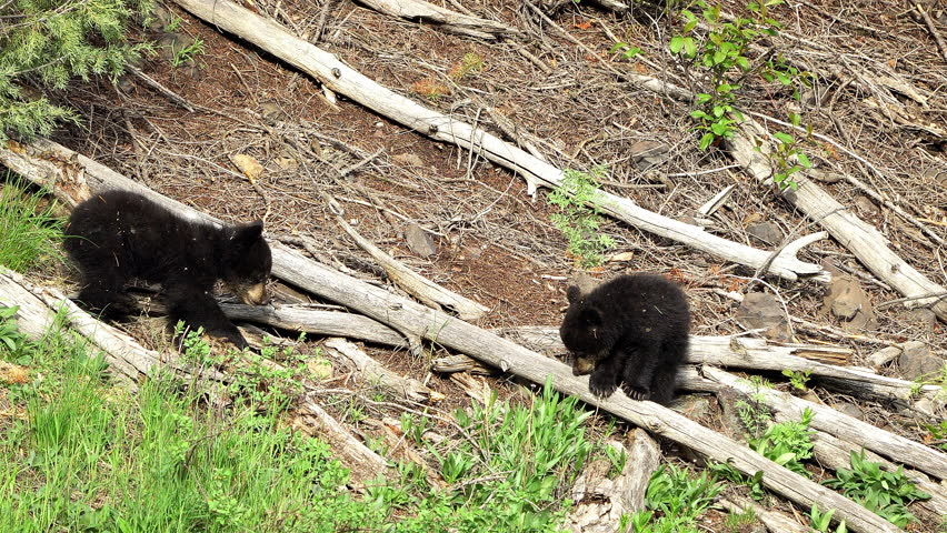 Black bear cubs wandering over tree branches on hillside as they explore. | Shutterstock HD Video #1012421945