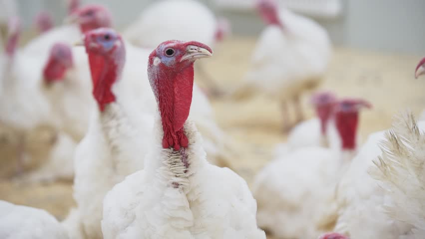 Turkey with white feathers and red small appendage looks at other turkeys in confusion around room at poultry farm
