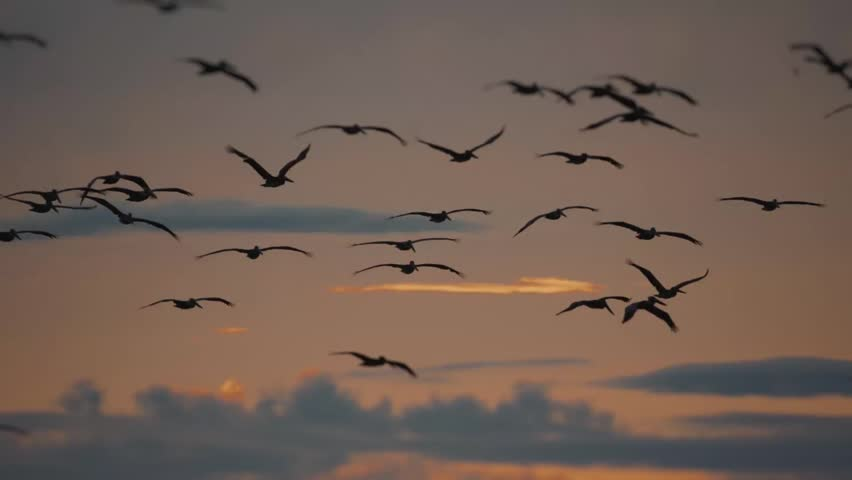 Brown Pelicans Above Ocean At Sunset, Costa Rica. Graded and stabilized 180fps Slow Motion version. | Shutterstock HD Video #1012475225
