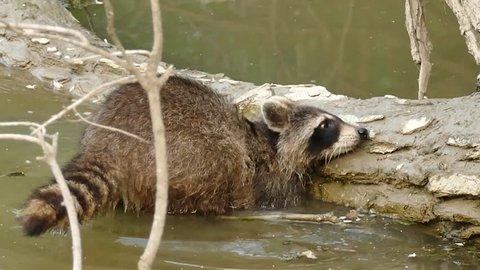 Dexterous Raccoon finding food under water against wood log