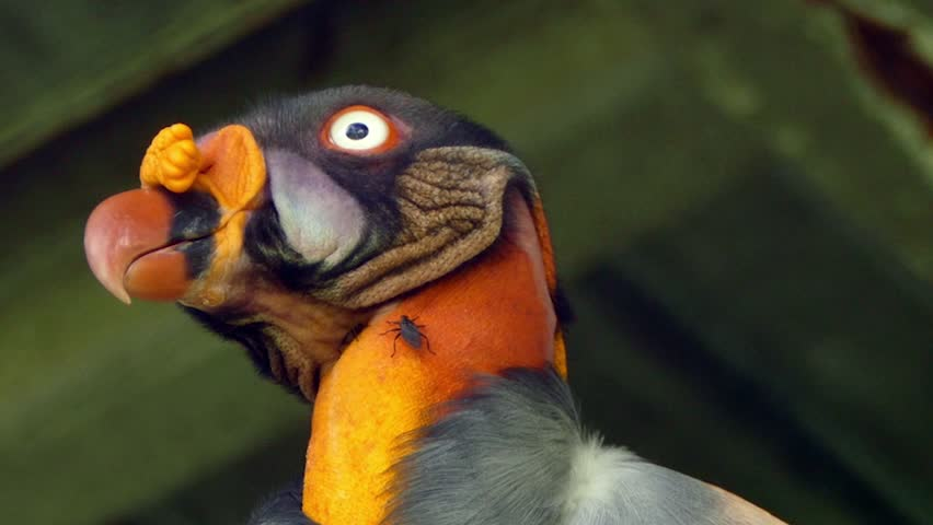 Closeup of King Vulture's body while perched with flies on its feathers