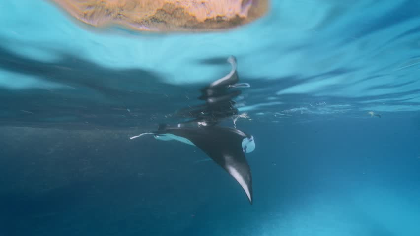 Swimming with manta rays in the ocean water | Shutterstock HD Video #1012551215