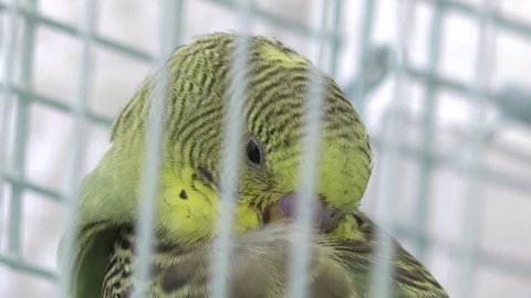 Domestic budgerigars, birds in cages  green and yellow budgerigar  bird  sounds and pet budgie