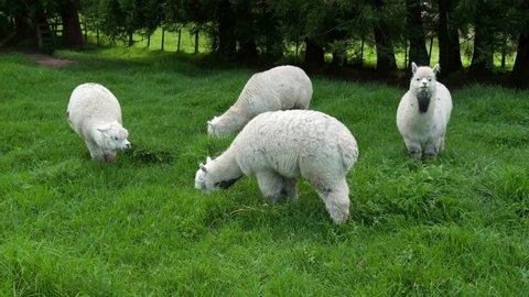 White Alpacas Grazing in paddock, Katikati, Bay of Plenty, New Zealand