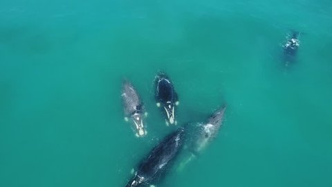 Southern Right Whales - mating season Cape Town South Africa Drone Aerial