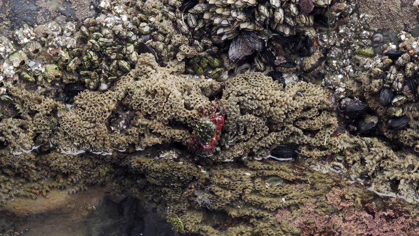 4k. Southen California Tide Pool. Striped Shore Crab Moves to the Water. The Background is Gooseneck Barnacles, Mussels, Sand-castle Worms, Anemone. The Concept of Marine Life and Oceanography.