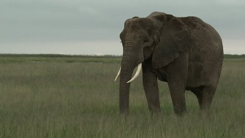 African Elephant (Loxodonta africana) foraging, Amboseli N.P., Kenya