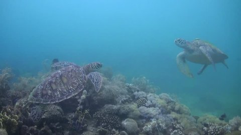 Two Green Turtles (Chelonia mydas) with Remoras (Echeneidae) Over a Coral Reef - Philippines