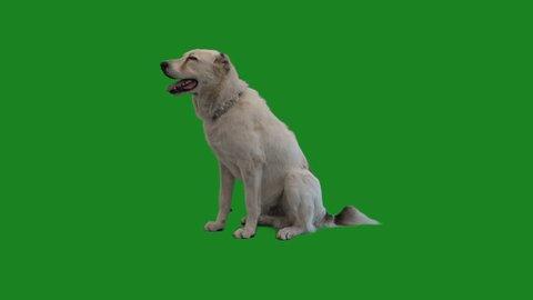 Shepherd Dog on the Green Screen