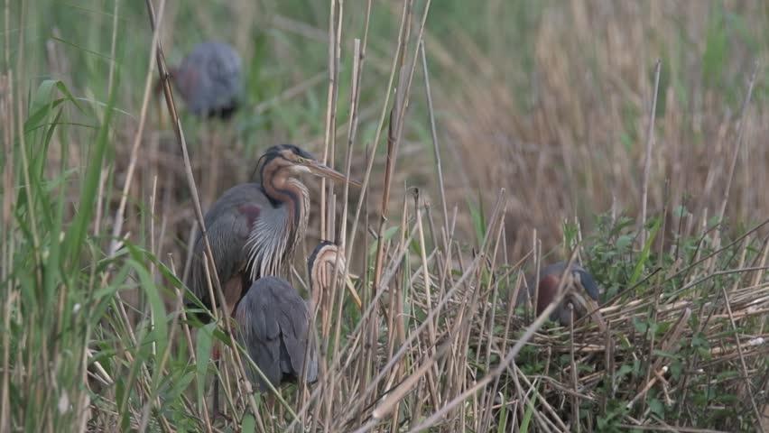 Purple heron, Ardea purpurea building her nest in her breeding grounds. Concept: animals and nature