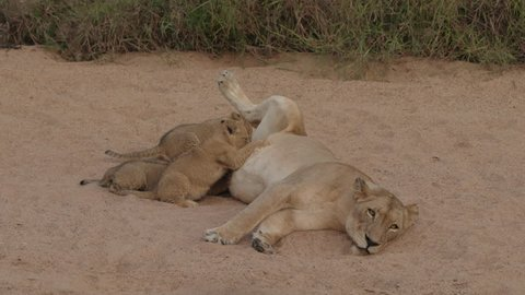 Lion cubs suckling on lioness