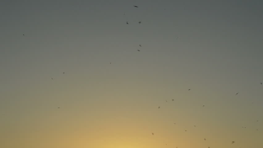 Swarm of swallows birds flying in the sky at crepuscular sunset | Shutterstock HD Video #1012897085