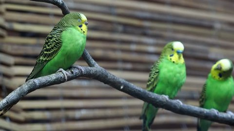 Close-up of a two beautiful yellow-green parrot or melopsittacus undulatus perched on a wooden branch